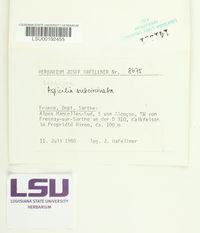 Lobothallia radiosa image