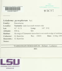 Leioderma pycnophorum image