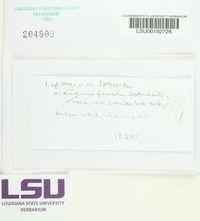 Leptogium laceroides image