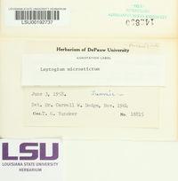 Leptogium microstictum image