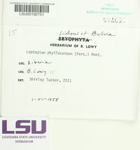 Leptogium phyllocarpum image