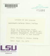 Image of Leptorhaphis beloniza