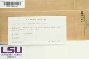 Lopadium disciforme image