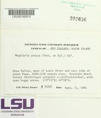 Megalaria grossa image