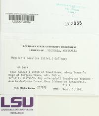 Megalaria maculosa image