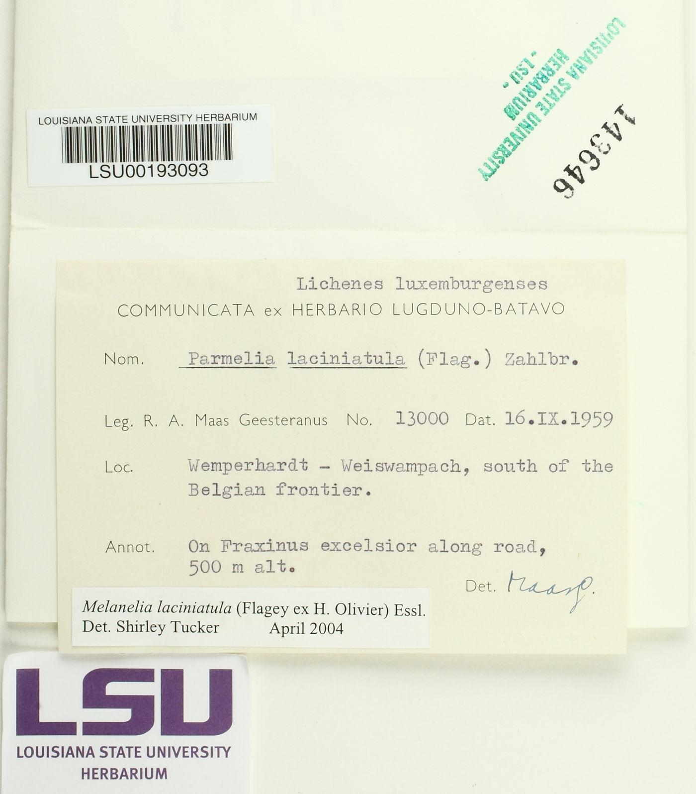 Melanelia laciniatula image