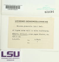 Image of Micarea glomerella