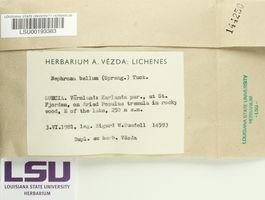 Nephroma bellum image