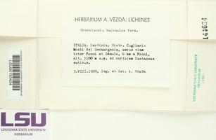 Image of Ochrolechia balcanica