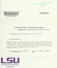 Ochrolechia pallescens image