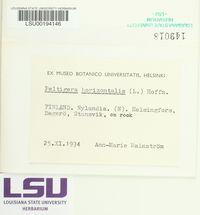 Peltigera horizontalis image