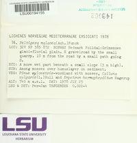 Peltigera malacea image