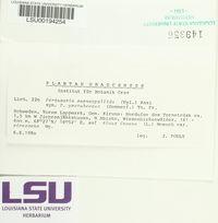 Pertusaria carneopallida image