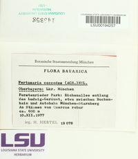 Pertusaria coccodes image