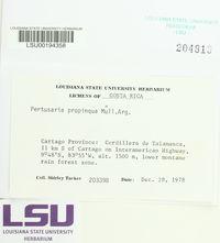 Pertusaria propinqua image