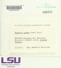Phlyctis argena image