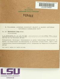 Blastodesmia nitida image