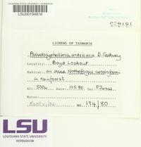 Pseudocyphellaria ardesiaca image