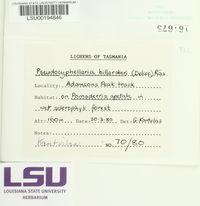 Pseudocyphellaria billardieri image