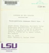 Pseudocyphellaria cinnamomea image