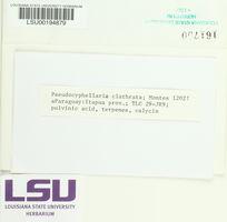 Pseudocyphellaria clathrata image