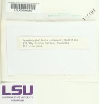 Pseudocyphellaria colensoi image