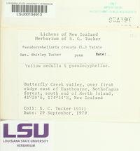 Pseudocyphellaria crocata image
