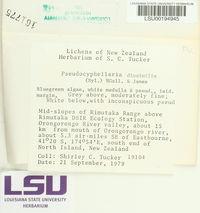 Pseudocyphellaria dissimilis image