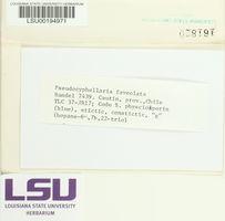 Pseudocyphellaria faveolata image