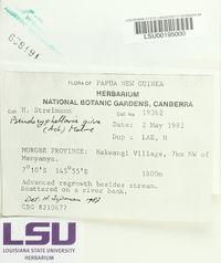 Pseudocyphellaria gilva image