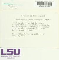 Pseudocyphellaria homoeophylla image