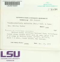 Pseudocyphellaria multifida image