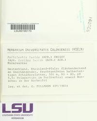 Psilolechia lucida image