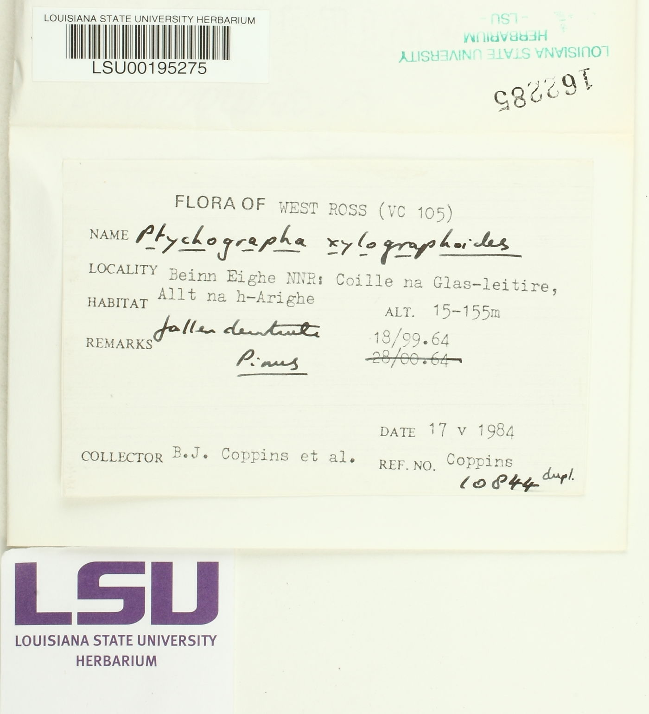 Ptychographa xylographoides image