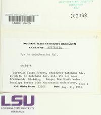Pyxine endochrysina image