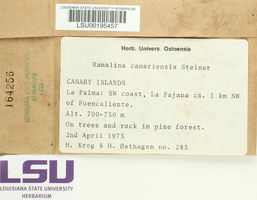 Ramalina canariensis image