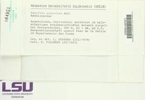 Ramalina peruviana image