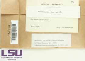 Rhizocarpon riparium image