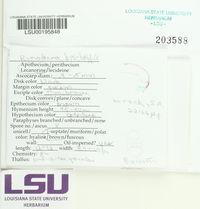 Rinodina bischoffii image
