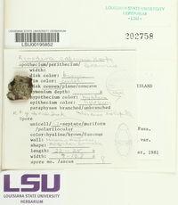 Rinodina capensis image