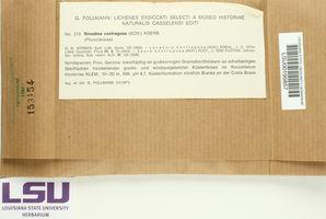 Rinodina confragosa image