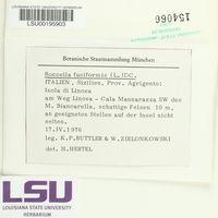 Roccella fuciformis image