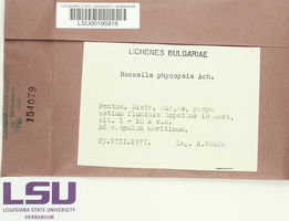 Roccella phycopsis image