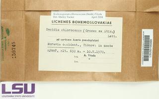 Scoliciosporum chlorococcum image