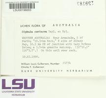 Siphula coriacea image