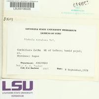 Siphula decumbens image