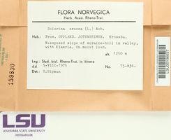 Solorina crocea image
