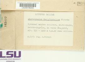 Stereocaulon dactylophyllum image