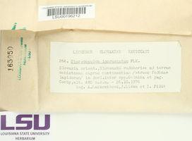 Stereocaulon incrustatum image