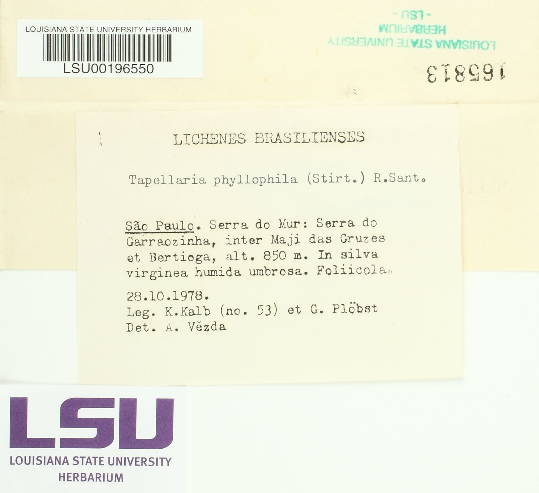 Tapellaria phyllophila image